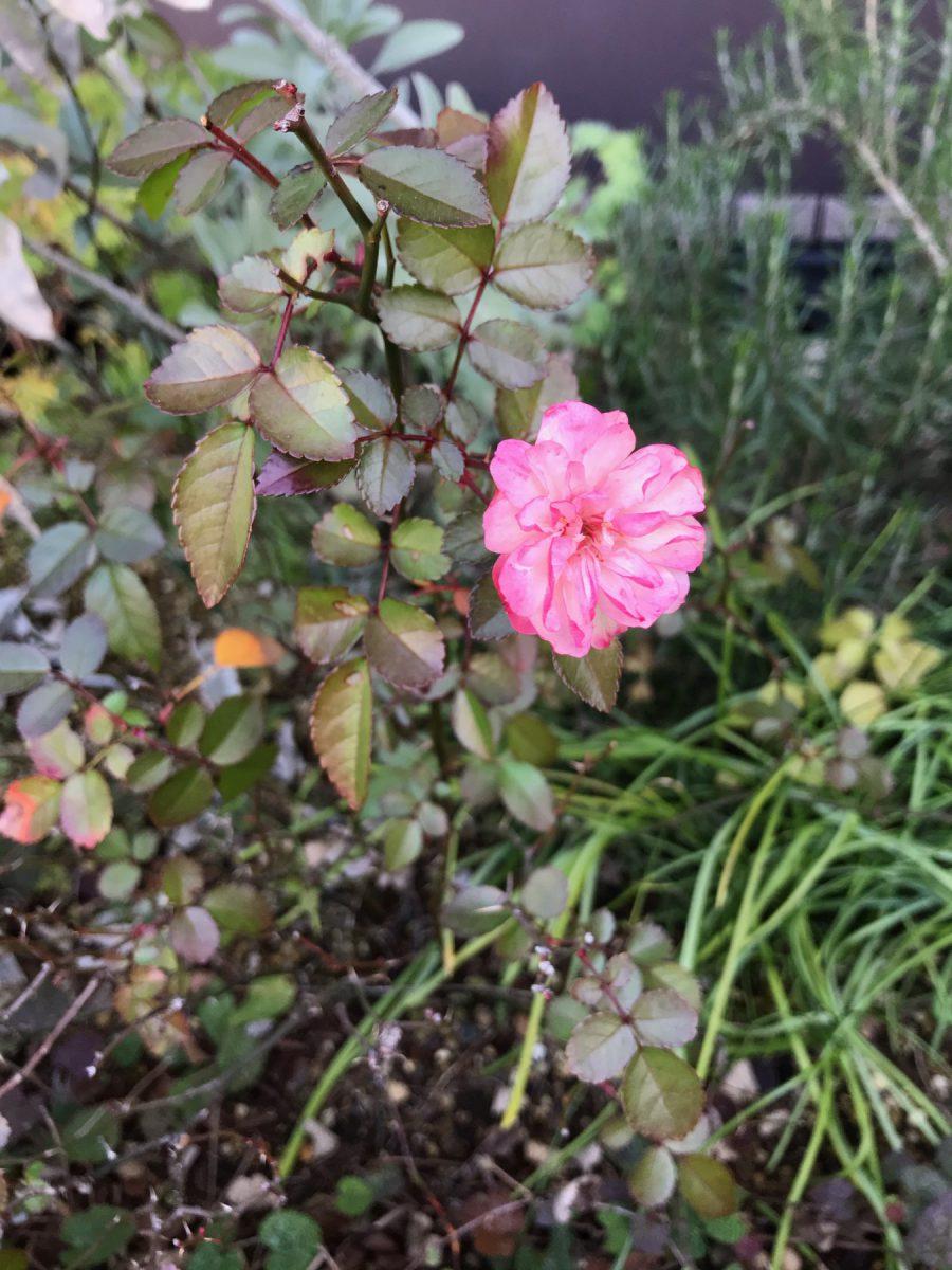 あいばこ前にお花が咲いてました。春~