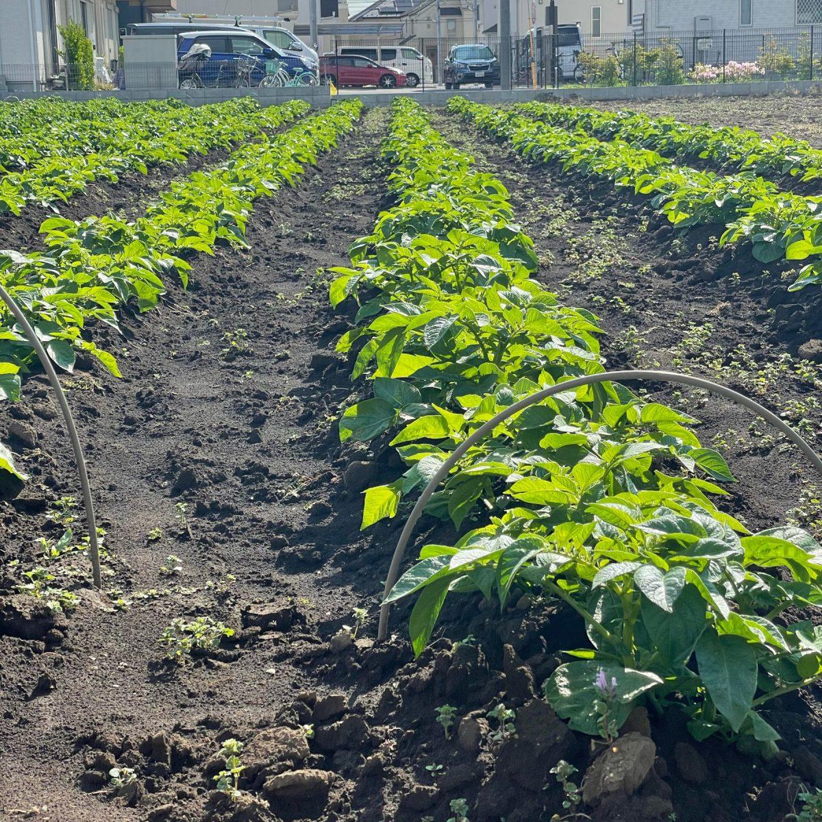 こないだ植えられてた近所の畑のお野菜(ジャガイモだと勝手に予想している)、もうこんなに大きくなってた!あったかいもんね~