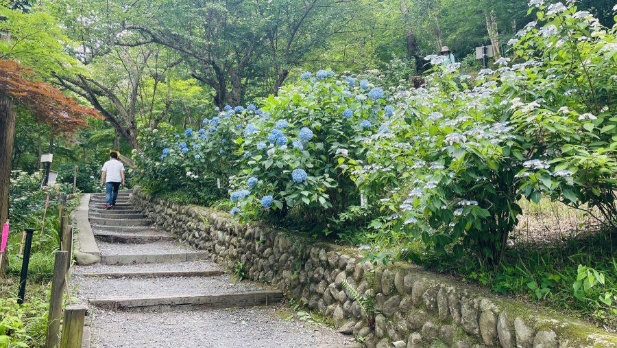 傾斜に沿ってつぎつぎ現れる紫陽花